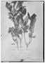 Field Museum photo negatives collection; Genève specimen of Monnina franchetii Chodat, BOLIVIA, G. Mandon 835, Type [status unknown], G
