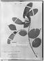 Field Museum photo negatives collection; Genève specimen of Securidaca macroptera Benn., BRAZIL, L. Riedel, Type [status unknown], G