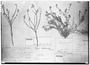 Field Museum photo negatives collection; Genève specimen of Polygala pseudocoelosioides Chodat, BRAZIL, G. Gardner 2482, Type [status unknown], G