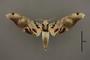 95052 Amplypterus gannascus dentoni PT d IN