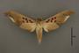 95052 Amplypterus gannascus dentoni PT v IN