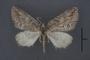 95126 Pachrophylla minor HT 1of4 d IN