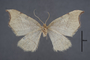 95127 Chlorotimandra viridis T 1of4 v IN