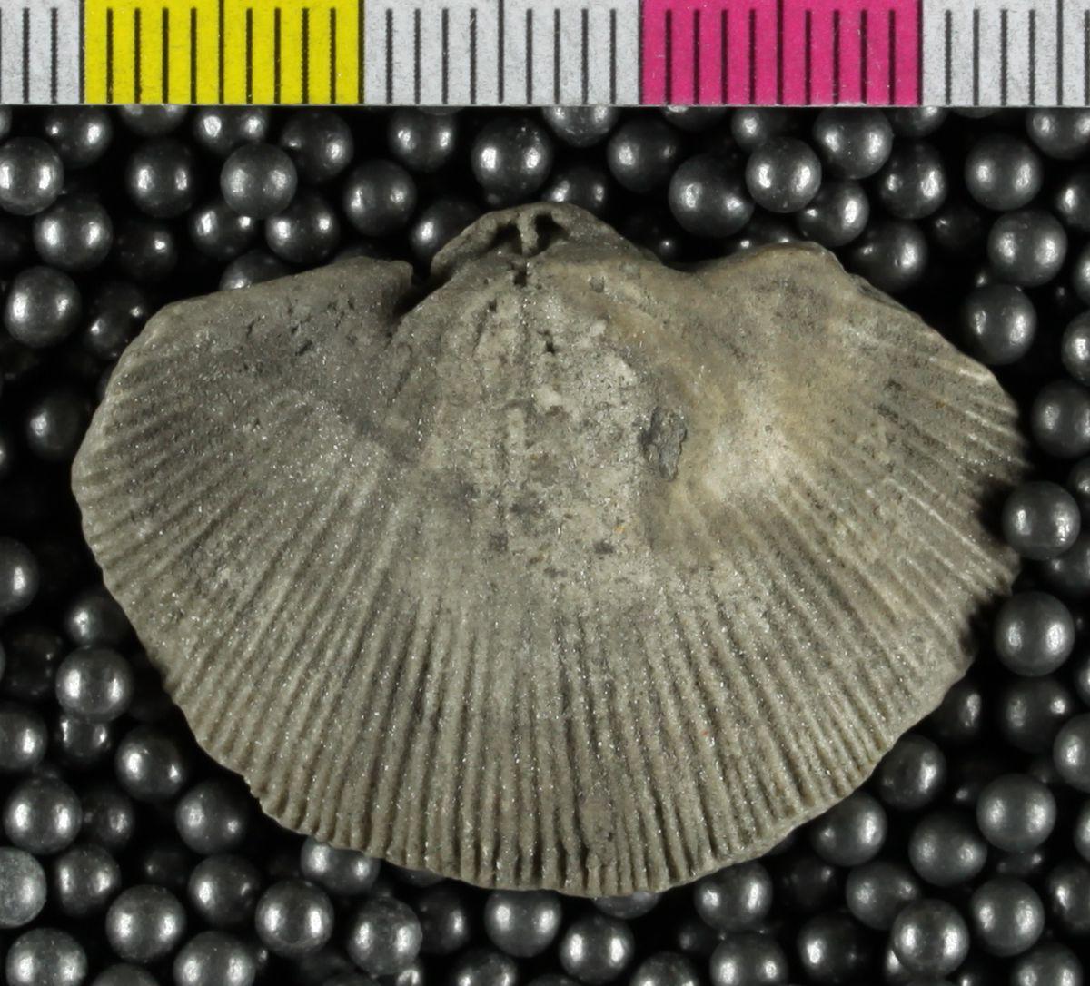 Species: Coolinia subplana (Conrad)