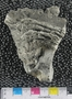 IMLS Silurian Reef digitization Project 2013, image of Silurian fossil from the Chicago area