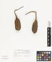Aristolochia grandiflora Sw., JAMAICA, A. E. Wight 104, F
