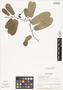 Aristolochia maxima Jacq., HONDURAS, J. Saunders 381, F