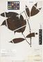 Monocarpia euneura Miq., BRITISH NORTH BORNEO [Sabah], A. D. E. Elmer 21556, F