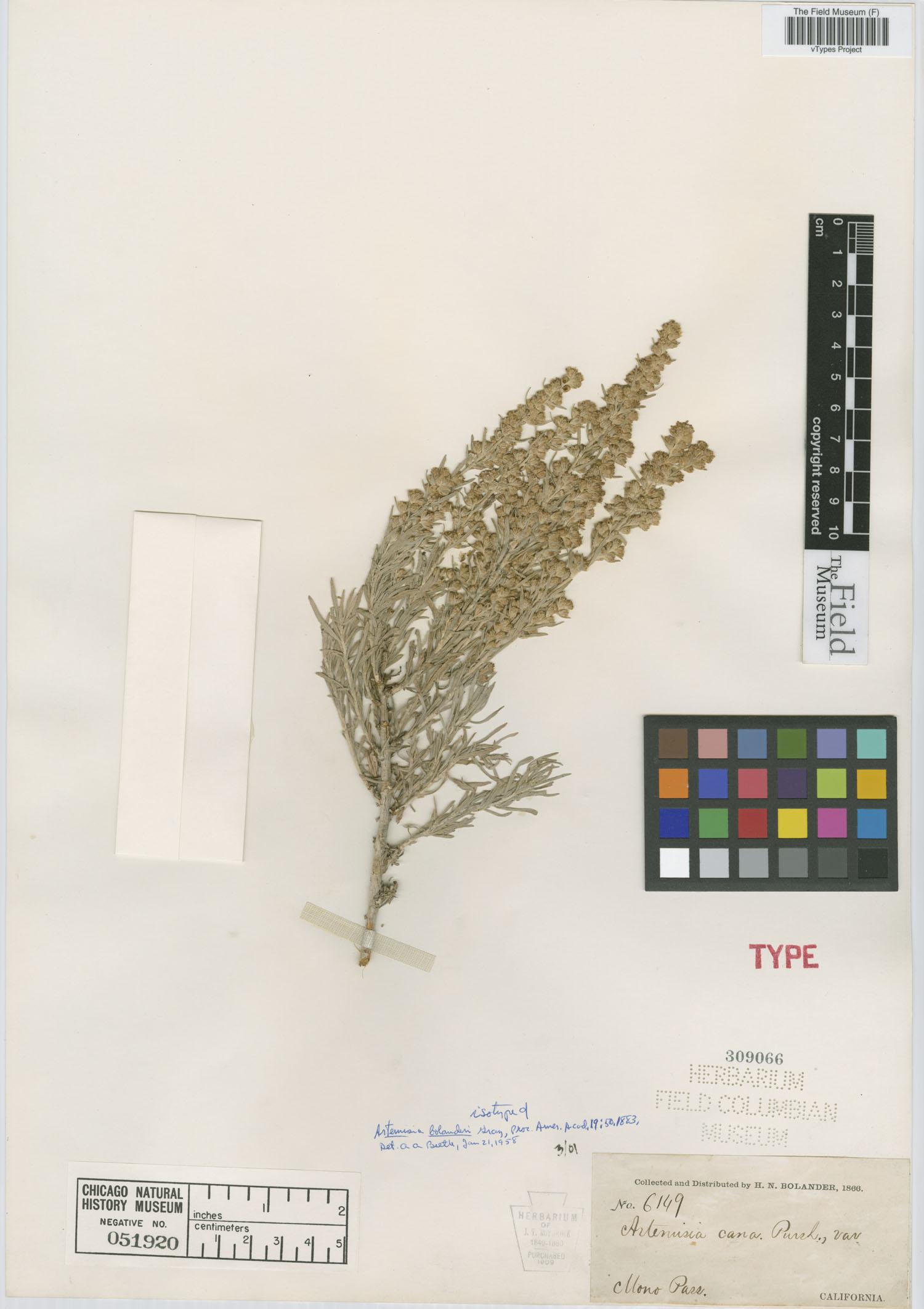 Artemisia cana subsp. bolanderi image