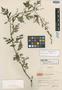 Artemisia atrovirens Hand.-Mazz., CHINA, Hur. H. Smith 13634, Isotype, F