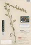 Artemisia mattfeldii var. etomentosa Hand.-Mazz., CHINA, Hur. H. Smith 11326, Isotype, F
