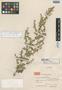 Artemisia strongylocephala var. phyllobotrys Hand.-Mazz., CHINA, Hur. H. Smith 12211, Isotype, F