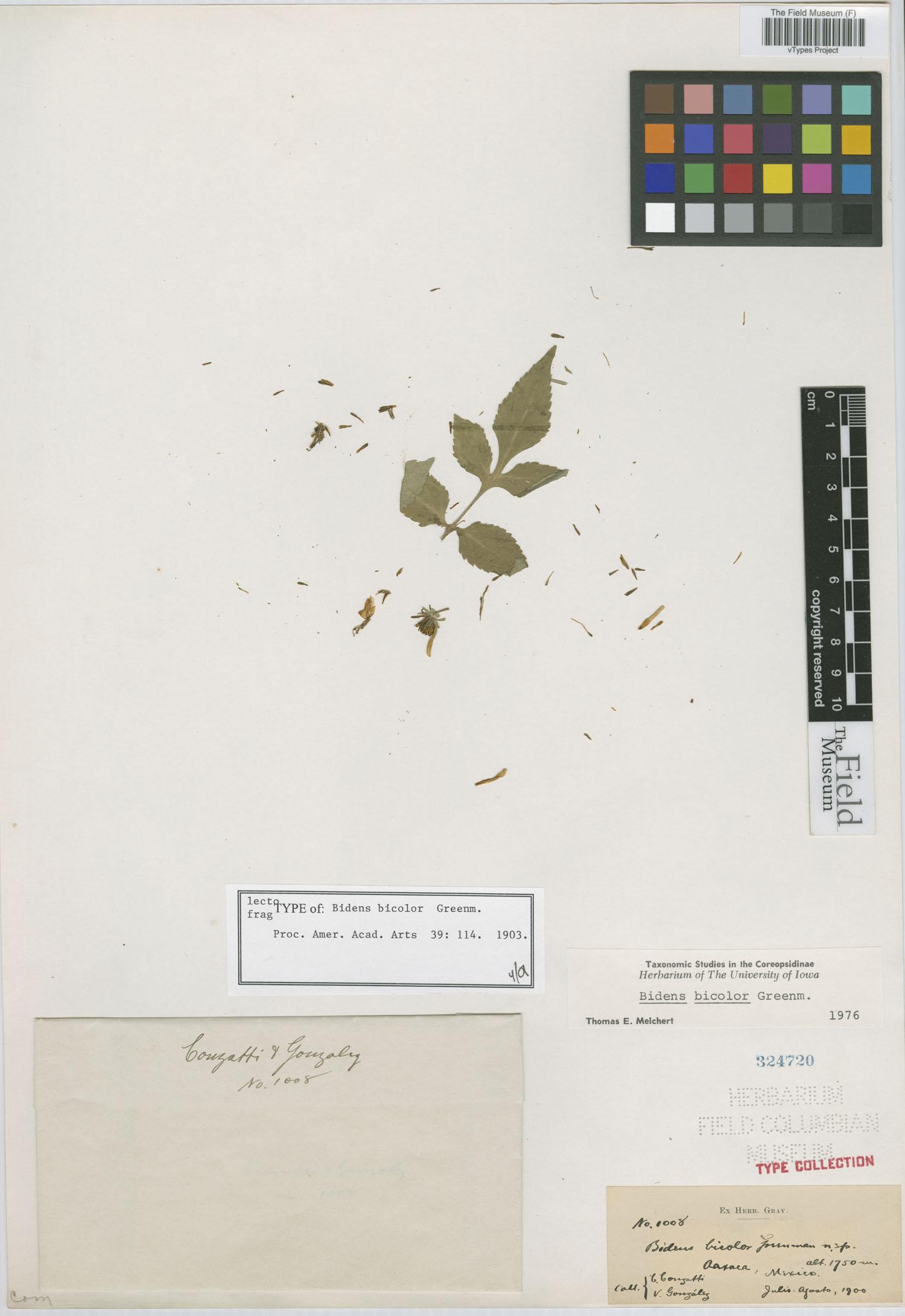 Bidens bicolor image