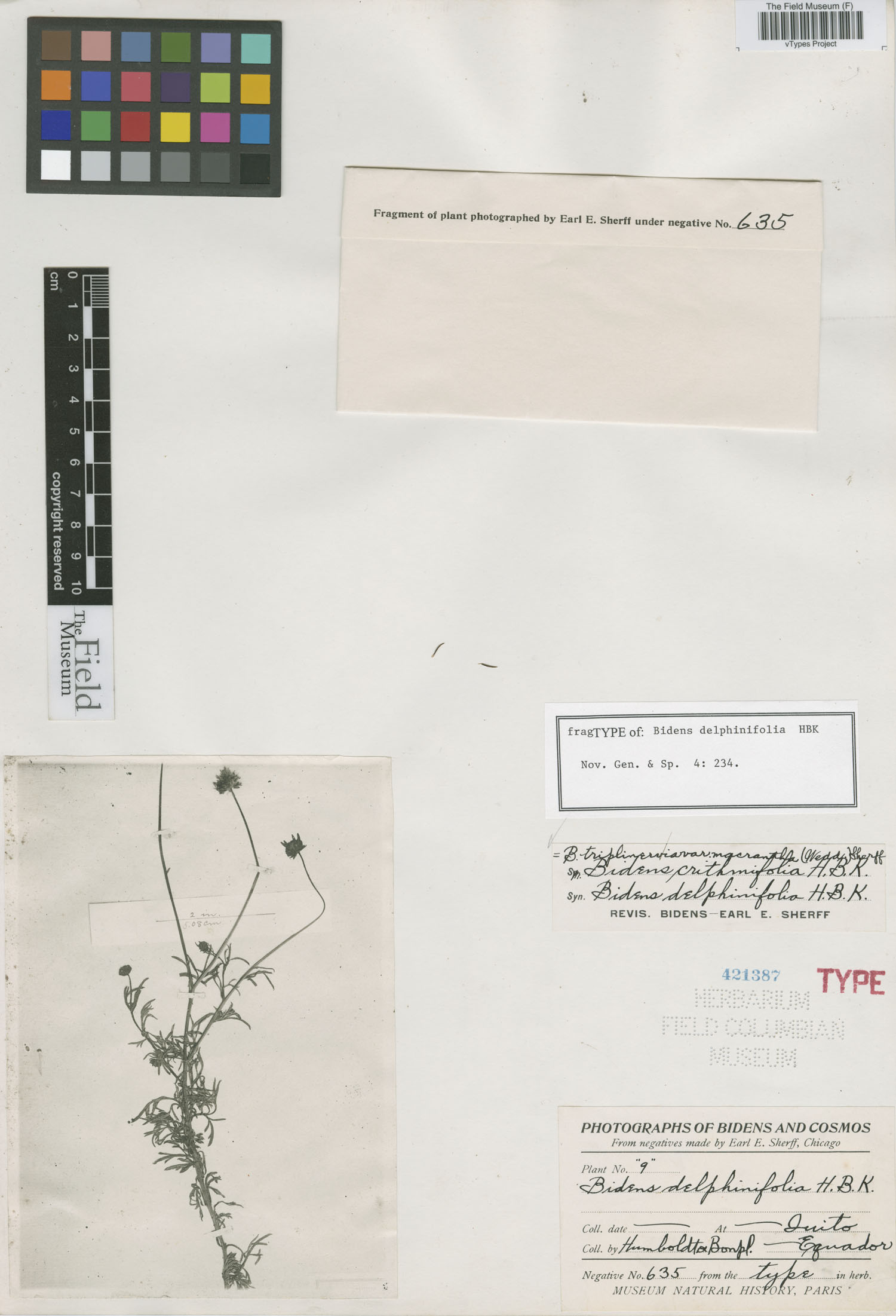 Bidens delphinifolia image