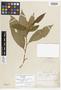 Solanum rufescens var. virescens Hieron., Brazil, J. E. B. Warming, Possible type, F