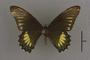 95228 Papilio copanae HT d IN