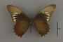 95228 Papilio copanae HT v IN