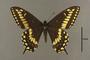 95231 Papilio anticostiensis HT d IN