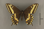 95231 Papilio anticostiensis HT v IN