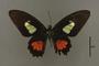 95234 Papilio caleli HT d IN