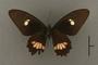 95234 Papilio caleli HT v IN
