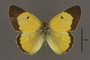 95244 Colias hecate HT d IN