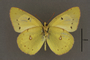 95244 Colias hecate HT v IN