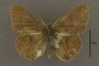 95246 Colias philodice nigrina HT d IN