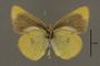 95246 Colias philodice nigrina HT v IN