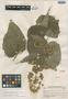 Ageratina areolaris image