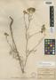 Hymenothrix glandulosa image