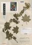 Jungia paniculata image