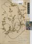 Mikania porosa image