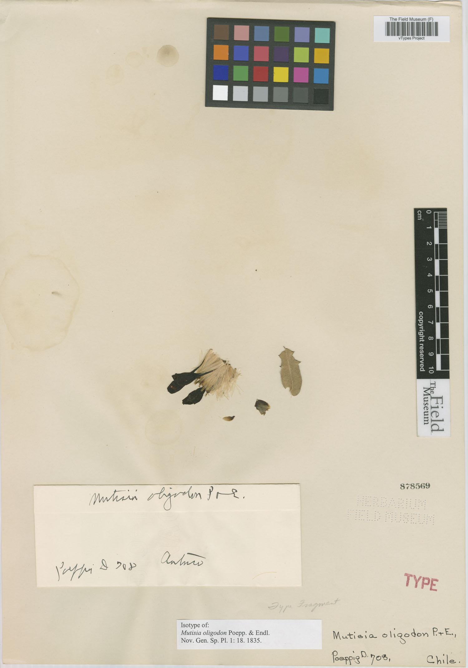 Mutisia oligodon image