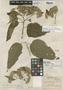 Oliganthes condensata (Less.) Sch. Bip., W. E. Broadway, Isotype, F