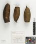 Couratari panamensis Standl., Panama, G. Proctor Cooper 542, Holotype, F