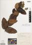 Myrcia rosangelae Nic Lughadha, Brazil, J. I. A. Falcao 1195, Isotype, F