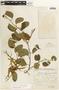 Bauhinia aculeata image
