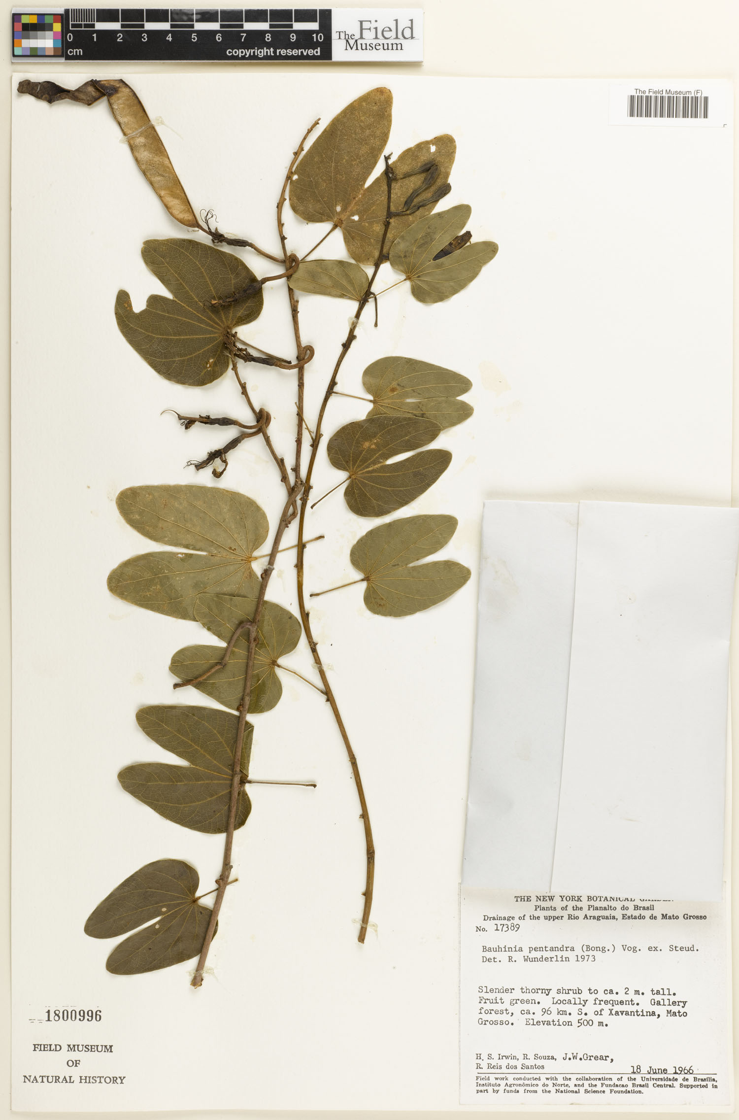 Bauhinia pentandra image