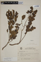 Campomanesia aurea image