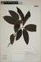 Campomanesia guazumifolia (Cambess.) O. Berg, BRAZIL, F