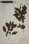 Campomanesia guazumifolia (Cambess.) O. Berg, PARAGUAY, F