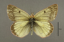 95326 Colias moina LT d IN