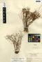 Lindernia monticola Muhl. ex Nutt., U.S.A., J. H. Pyron 1847, F