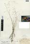 Lindernia monticola Muhl. ex Nutt., U.S.A., R. M. Harper 1069, F