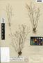 Lindernia monticola Muhl. ex Nutt., U.S.A., A. H. Curtiss 6468, F