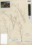 Lindernia monticola Muhl. ex Nutt., U.S.A., J. K. Small s.n., F
