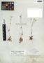 Lindernia monticola Muhl. ex Nutt., U.S.A., G. R. Vasey s.n., F