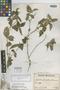 Lasianthaea fruticosa image