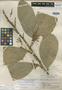 Quararibea machin J. F. Macbr., PERU, J. Schunke Vigo 290, Holotype, F